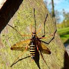 Wasp-mimic Crane Fly