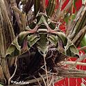 Army Green Moth or Oleander Hawk Moth