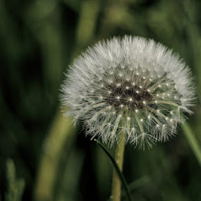 I need your breath by Ciddi Biri - Nature Up Close Other plants ( macro, furry, white, bokeh, flower )