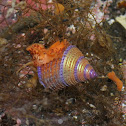 Jewelled Top Snail