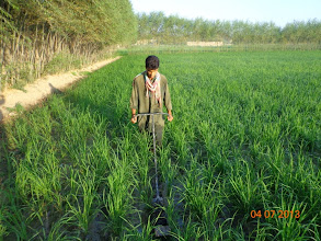 Photo: Farmer is Weeding SRI rice plants at Nahri Sufi, Chahar Dara, Afghanistan. [Photo Courtesy of Ai Muhammad Ramzi, 2013]