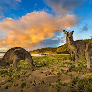 Pebbly Beach Kangeroo-2518.jpg