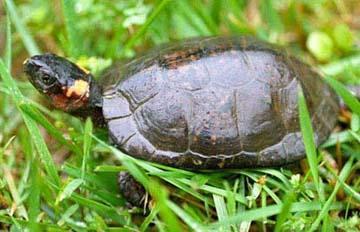 http://www.fws.gov/midwest/Endangered/images/reptiles/BogTurtleByLoriErb.jpg