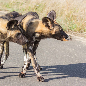 Play time by Ailsa Burns - Animals Other Mammals ( painted dog, wild dog, dog, africa, brothers )