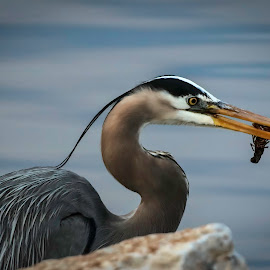 by Dana Johnson - Animals Birds ( crawfish, great blue heron, waterfowl, bird, animal, heron )