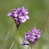 Three-toothed Orchid