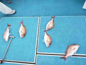Photo: うおー!すごい!初っぱなから、5本針仕掛けに真鯛5匹! パーフェクトキャッチでした!