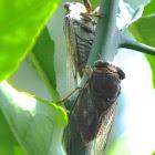 Scrub Cicada