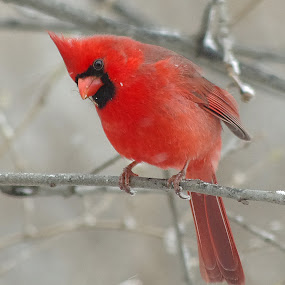 Male Cardinal in a Light Snow by Jenny Gandert - Animals Birds