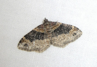 Photo: Xanthorhoe ferrugata    Lepidoptera > Geometridae