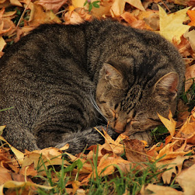 A nap by Andrea Tomašević - Animals - Cats Portraits ( dreaming, cat, autumn leaves, autumn, nap, sleeping, leaf, leaves,  )