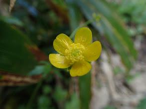 ミヤマキンポウゲ(残り花)