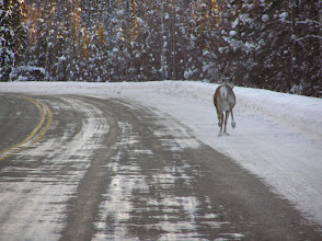 Photo: Caribou Running down the Road.