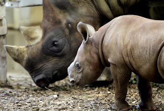Photo: A male eastern black rhinoceros calf, right, keeps close to his mother, Kibibbi, left, at the Cleveland Metroparks Zoo on Aug. 3, 2012. The calf, named Juba, was born July 1 at the zoo. The birth marks the start of a third generation of rhinos there. The calf weighed 80 pounds at birth. (Lisa DeJong, The Plain Dealer)