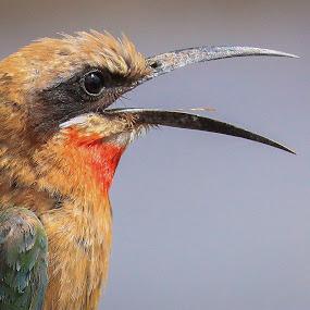 Bee Eater by Dirk Luus - Animals Birds ( bird, animals, nature, bee, eater,  )