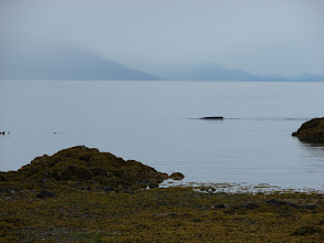 Photo: A Humpback Whale cruises just offshore from my campsite on Sand Bay.
