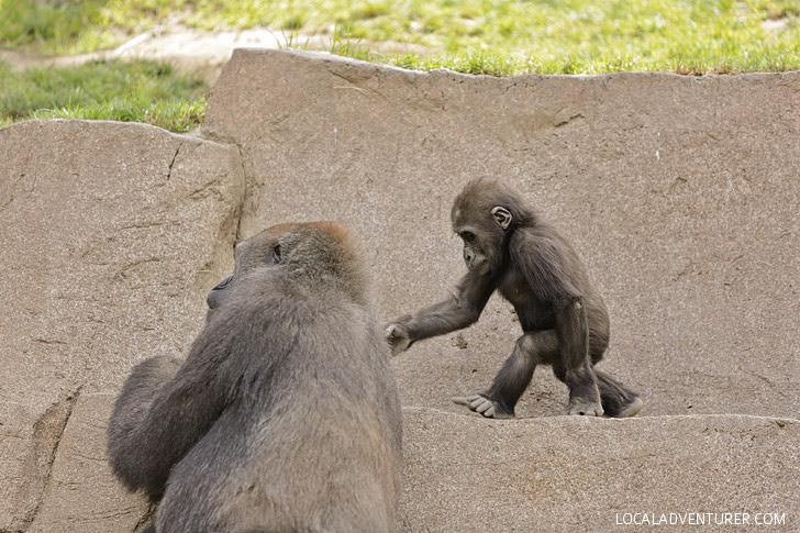 Gorilla San Diego Wild Animal Park.