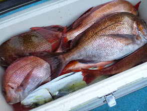"""Photo: """"タムラさん""""の釣果その2。 真鯛14匹でした! 後半、失速しました。"""