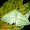 Rose-myrtle Lappet Moth (?)