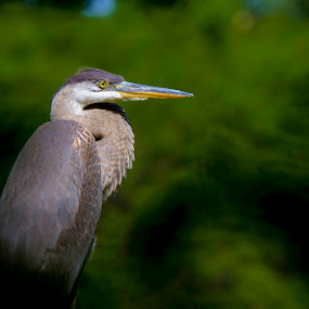 Great Blue Heron Profile by Satyam Muench - Animals Birds ( great blue heron, herons of illinois, blue heron, heron portrait, birds of illinois, great blue heron portrait, heron,  )