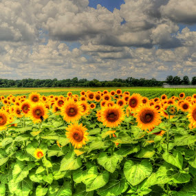 Sunflowers in Full Bloom at Shelby Farms in Memphis by Billy Morris - Flowers Flowers in the Wild ( memphis, sunflowers, tennessee, shelby farms, flower,  )