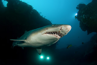 Photo: Sandtiger Shark, Protea Banks, South Africa