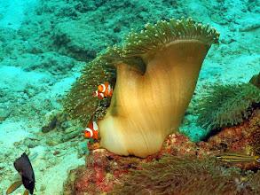 Photo: Западные рыбы-клоуны в актинии