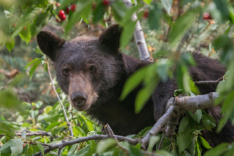Photo: Bear in a tall cherry tree on Barranca Mesa.