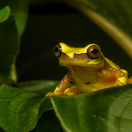 Hourglass frog by Garry Chisholm - Animals Amphibians ( macro, frog, nature, hourglass, amphibian, garry chisholm )