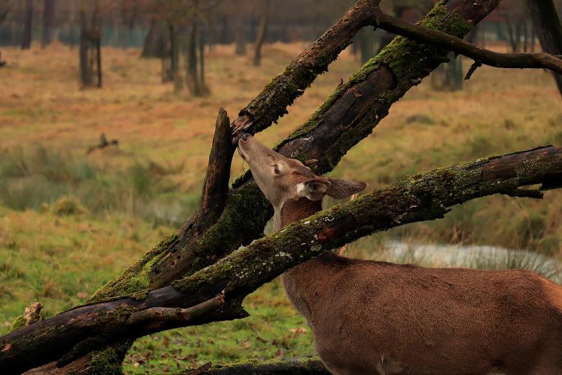 Il cervo di MMs