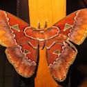 Rothschildia triloba silkmoth