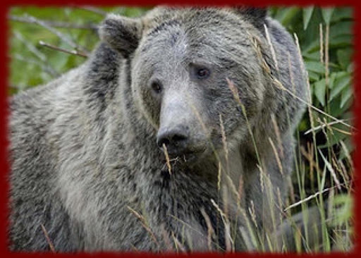 Grizzly Bears wallpapers