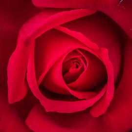 by Amrita Bhattacharyya - Flowers Single Flower (  )