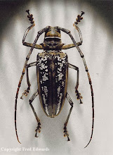 Photo: Wallace's longhorn beetle (Batocera wallacei). This species was discovered by Wallace on the Aru Islands, Indonesia and named after him by Thomson in 1858. © National Museum of Wales & Fred Edwards