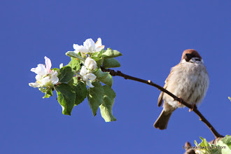 Photo: Apple blossom and field sparrow