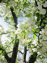 Photo: Sunlight on white apple blossoms at Cox Arboretum and Gardens Metropark in Dayton, Ohio.