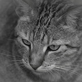 Cat by Johann Fouche - Animals - Cats Portraits ( feline, kitten, wild cat, cat, pussy cat,  )