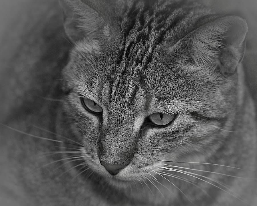 Cat by Johann Fouche - Animals - Cats Portraits ( feline, kitten, wild cat, cat, pussy cat,  )