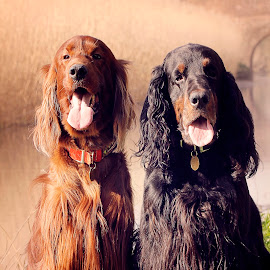 Down by the river, awaiting their masters command. by Ken Jarvis - Animals - Dogs Portraits ( irish, gordon setter, river, irish setter, setter, dog portrait )