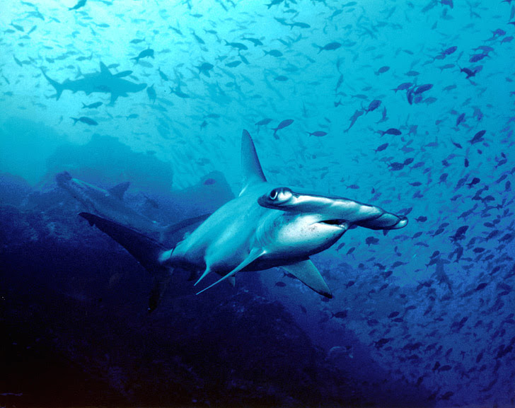 Bajo Alcyone, Cocos Island Costa Rica (25 Best Dive Sites in the World to Put on Your Bucket List).