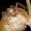 Pirate spider (male)