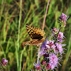 Great Spangled Fritillary