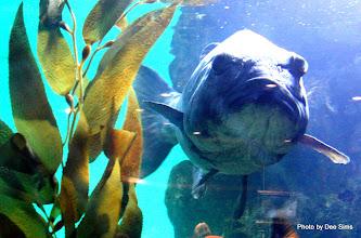 Photo: (Year 3) Day 23 - Large Sea Bass #2
