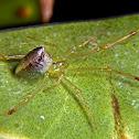 Silverdrop spider.