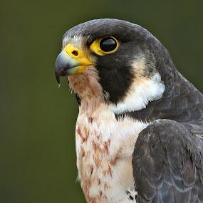 Watchful Eye by Pam Mullins - Animals Birds ( bird, canada, nature, wildlife, raptor, peregrine falcon,  )