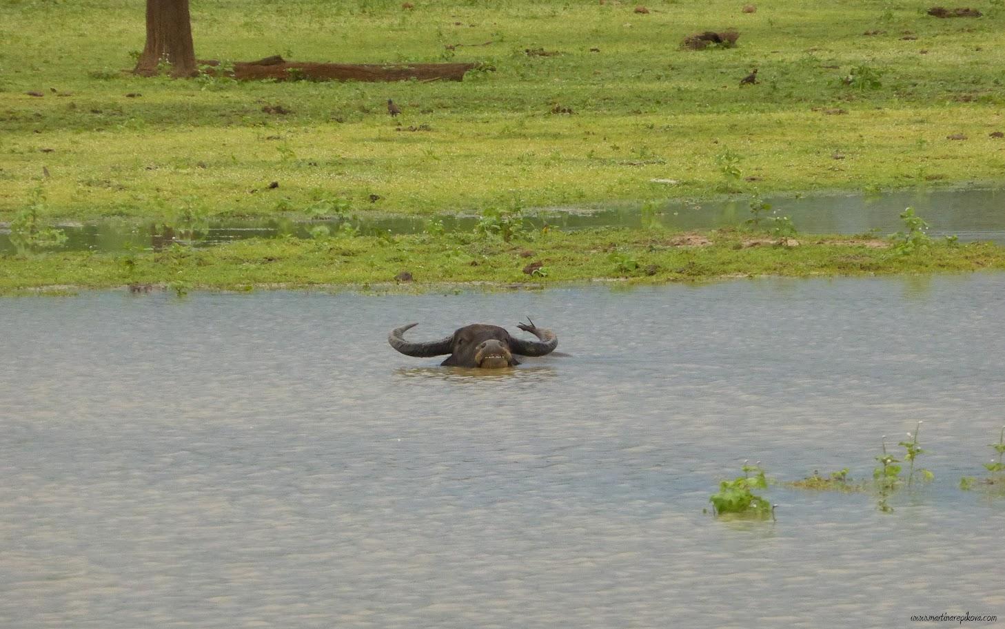 Water buffalo, Uda Walawe, Sri Lanka