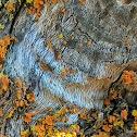 Narrow Woodscript Lichen