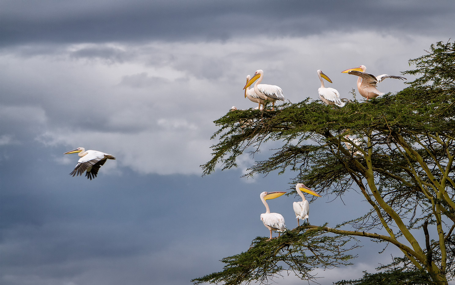 Photo: Lake Nakuru Pelicans, Kenya  I posted an image of pelicans soon after I returned from Kenya, and it was well received--I hope you enjoy this one as well with the in-flight bird. These birds were very active and constantly flying in and out of this tree located at the shore of the lake.  #flybyfriday   curated by +John Spade  #birds4all   curated by +Walter Soestbergen  #HQSPbirds   curated by +Marina Versaci  +Joe Urbz  #birdloversworldwide +BIRD LOVERS Worldwide curated by +Robert SKREINER #10000photographersaroundtheworld +10000 PHOTOGRAPHERS around the World curated by +Robert SKREINER