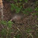 nine-banded armadillo
