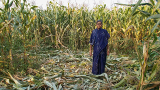image of woman standing in corn field